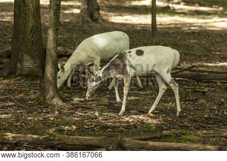 Rare White-tailed Deer, White Color In The Forest