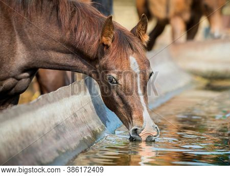 Chestnut baby horse close up drinking water outdoors. Portrait of Arabian foal at a watering hole in summer in the paddock.