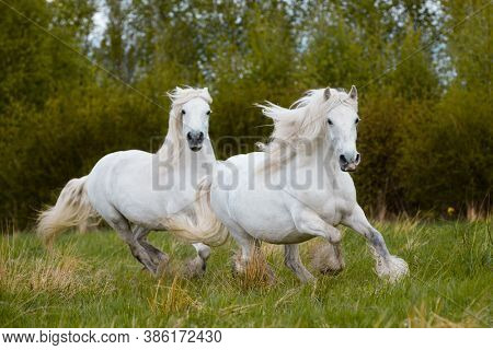 Two white horses galloping together outdoors in the field. Two big heavy draft horses running freedom on nature background in autumn.