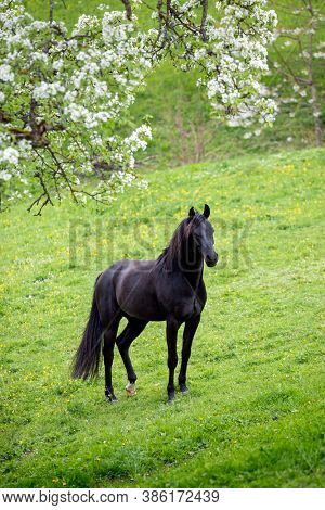 Black horse on green background outdoors. Arabian stallion standing on the field in spring.