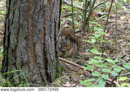 A Squirrel Sits On The Ground Among The Grass And Eats. Concept, Squirrel Can Be Fed In A Forest, A