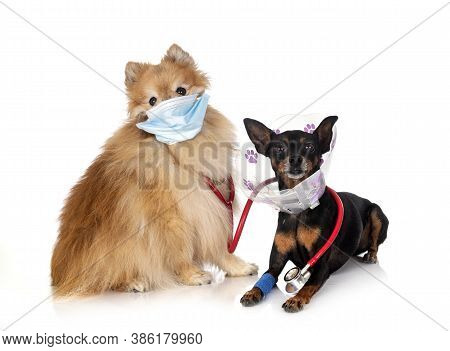 Miniature Pinscher And Spitz  In Front Of White Background