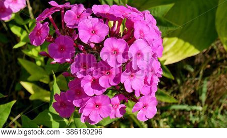 Pink Phlox Paniculata Of Sort Younique Cerise On A Blurry Green Background Of Leaves In The Summer G