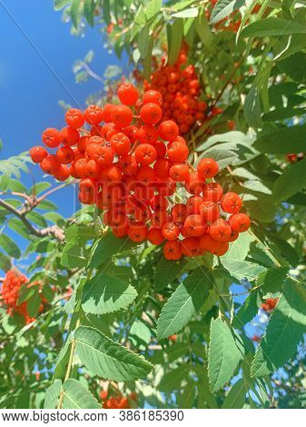 Branch with bright red rowanberries