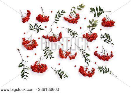 Red Berries European Rowan ( Sorbus Aucupari ) On A White Background. Top View, Flat Lay