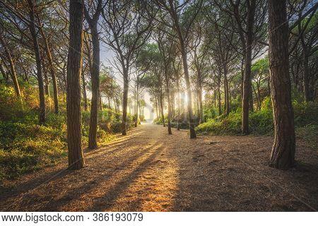 Pine Trees, Beach And Sea, Marina Di Cecina, Maremma, Tuscany, Italy Europe.