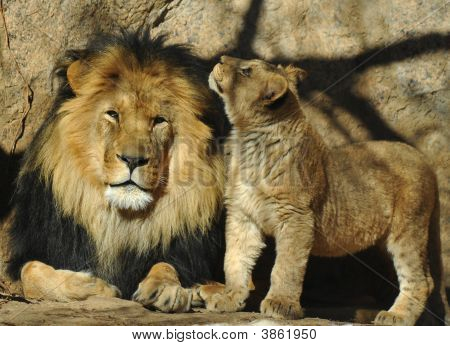 Father And Daughter Lion
