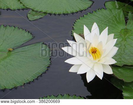 A White Lotus Flower Floating On The Pond At Puputan Badung Square Denpasar Bali.