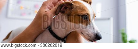 Partial View Of Businessman Touching Head Of Jack Russell Terrier Dog In Office, Panoramic Crop