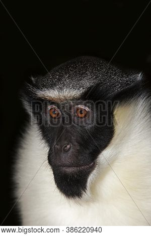 Diana Monkey Cercopithecus Diana, Head Of Adult