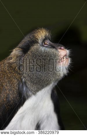 Head Close-up Of Campbell's Monkey Cercopithecus Campbelli Looking Up