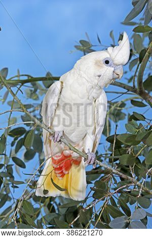 Philippine Cockatoo Or Red-vented Cockatoo Cacatua Haematuropygia On A Branch