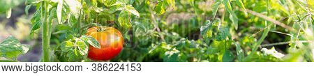 Medium Ripening Tomato On The Background Of The Beds. The Concept Of Ripening Autumn Fruits. Selecti