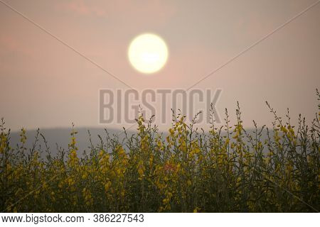 Sunn Hemp Or Chanvre Indien, Legume Yellow Flowers That Bloom In A Farmer's Field In The Evening At