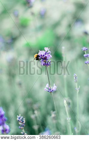 Bumble Bee On Lavender Flower In Garden