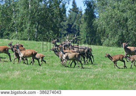 A Herd Of Deer Stag And Hind Deer In A Meadow During A Rut