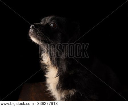 Portrait Of A Small Black And White Dog With Black Background. Low Key Image, Selective Focus.