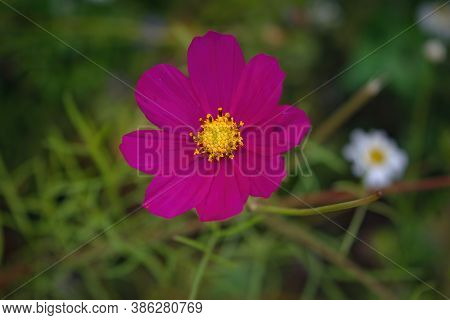 Pink Single Flower Of Cosmos Bipinnatus, Commonly Called The Garden Cosmos Or Mexican Aster On Green