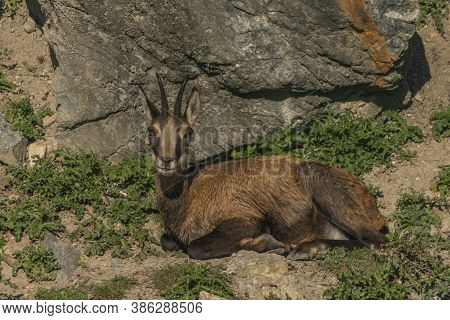 Chamois Lying On Rock And Stone In Sunny Summer Morning