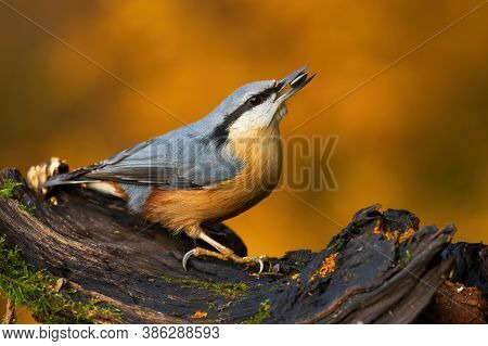Eurasian Nuthatch Sitting On Bough In Autumn Nature.
