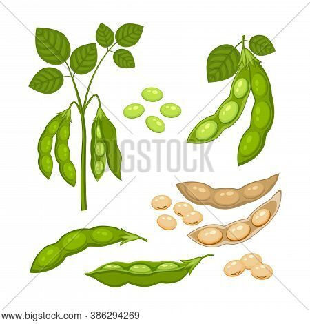Set Of Soy Bean Plant With Ripe Pods And  Green Leaves, Whole And Half Green And Dry Brown  Pods, So