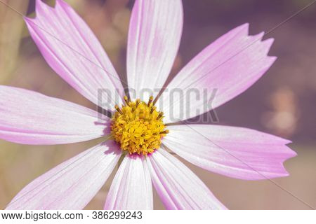 Delicate Pink Flower Cosmos Bipinnatus In The Garden On A Sunny Day. A Beautiful Garden Flower Of Th