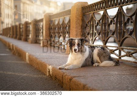 Nice Dog In The City. Marble Border Collie Lies On The Curb Against The Background Of The Old Lattic