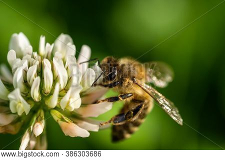 Honeybee Collecting Pollen From A Clover Blossom In The Garden In Summertime