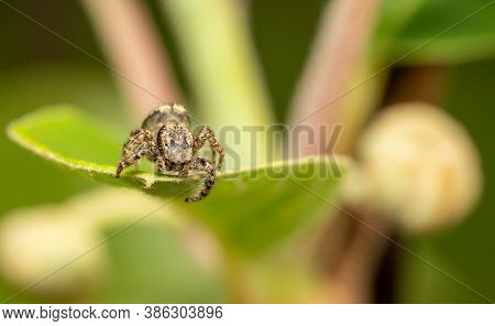 Jumping Wolf Spider Looking Down From A Plant Leaf