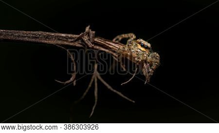 Close Up Image Of A Isolated Jumping Wolf Spider Crawling On A Wooden Stick On A Black Background
