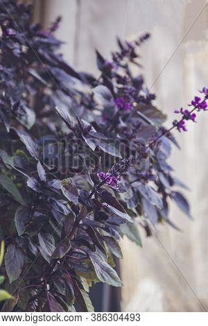 Close Up Picture Of Basil In Purple Shade With Small Flowers. Red Basil Flowers With Fresh Young Red