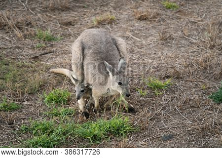 Eastern Grey, Macropus Giganteus, Also Known As Great Grey Or Forester Kangaroo Eating Grass With Ba