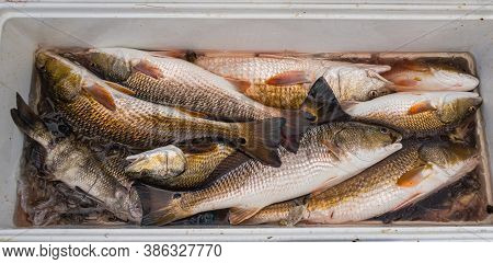 Fresh Catch Of Redfish And Black Drum From Barataria Bay Fishing Trip