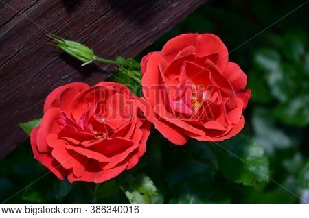 Two Red Roses On A Dark Background.