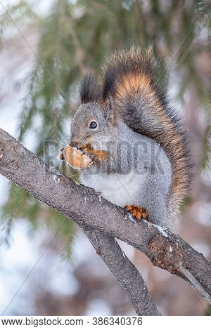 The Squirrel With Nut Sits On A Fir Branches In The Winter Or Autumn. Eurasian Red Squirrel, Sciurus