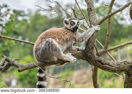 Lemurs On A Branch Of Tree In Zoological Garden