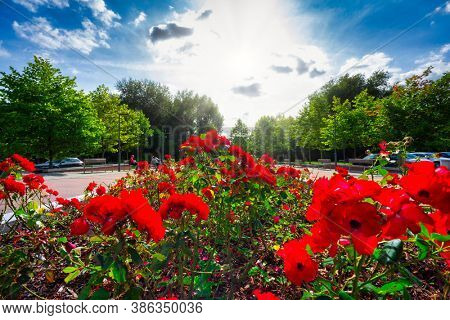 Park with beautiful red roses in Pruszcz Gdanski, Poland.