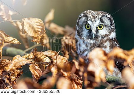 Cute Boreal Owl  Is Sitting On The Tree Branch Looking At The Camera.