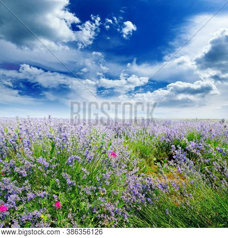 Rural landscape with summer lavender field and bright blue sky.