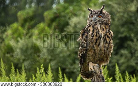 A Great Horned Owl On A Branch, Portrait Of An American Eagle Owl, Cute Owls, American Owl In The Fo