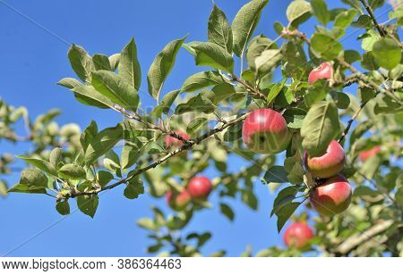 Red Apples On The Tree Under The Sky Background