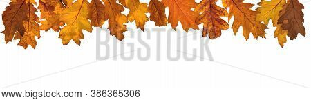Golden Autumnal  Leaf Of Oak Tree In Panoramic View On White