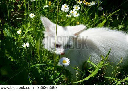 A White Kitten With Eyes Of Different Colors Sniffs A Chamomile. A Thoroughbred Pet Walks In The Gra