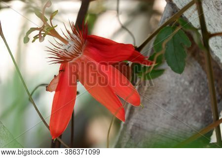 Close Up Image Of Passiflora Coccinea Common Names Scarlet Passion Flower, Red Passion Flower,dance