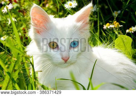 White Kitten With Eyes Of Different Colors. A Thoroughbred Pet.