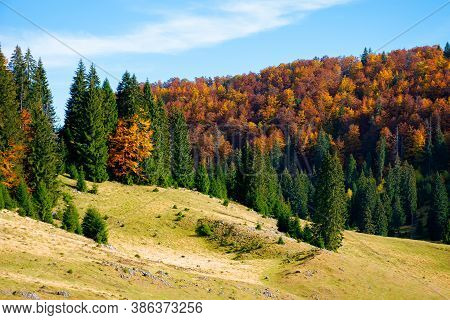 Mountain Landscape In Autumn. Forest In Fall Foliage On Top Of A Hill. Spruce Trees On A Grassy Mead