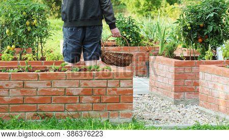 Gardener Picking Vegetables .raised Beds Gardening In An Urban Garden Growing Plants Herbs Spices Be