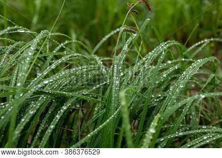 Young Green Grass Leaves In Morning Dew Or Wet From Raindrops.