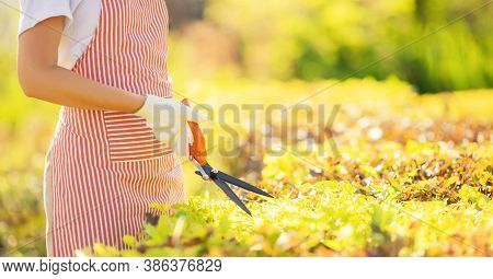 Banner Worker Hands With Garden Shears Cutting Hedge, Trim Tidy Shrub