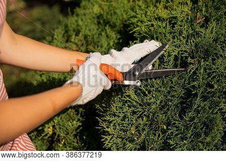 Worker Hands With Garden Shears Cutting Hedge, Trim Tidy Shrub